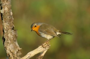 Vogelstimmenführung